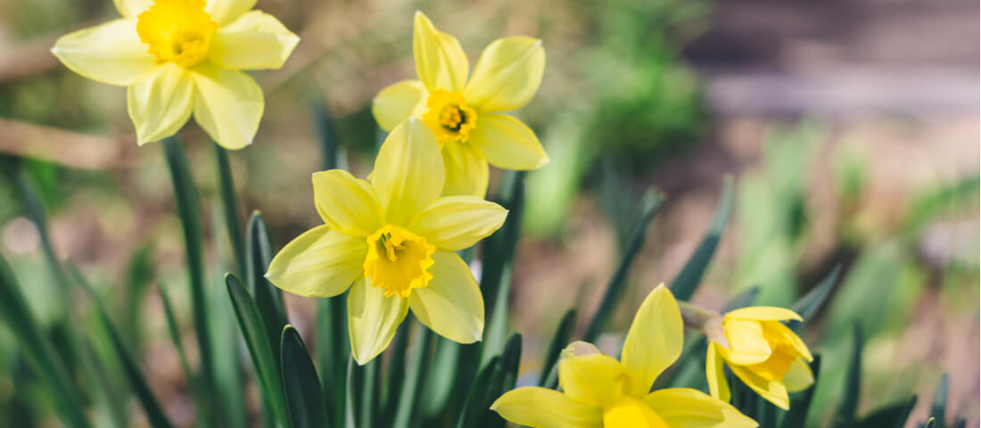 Picture depicting Springtime with daffodils